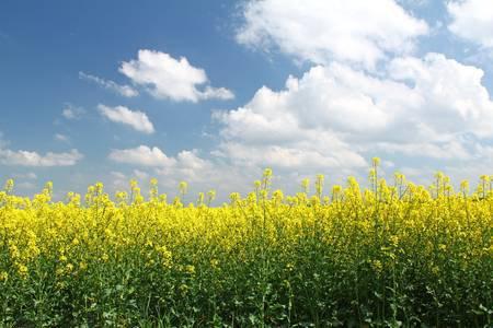 29-bloeiende-koolzaad-veld-in-de-voorkant-van-de-blauwe-hemel-saksen-duitsland