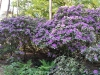 36-Rhodondendrons2